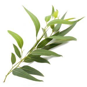 Eukaliptus rwa kulszowa