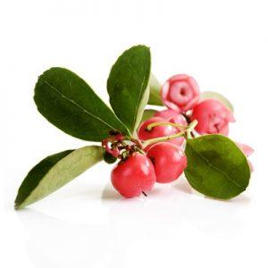 Wintergreen Golteria rwa kulszowa
